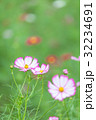 花 秋桜 植物の写真 32234691