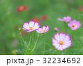 花 秋桜 植物の写真 32234692