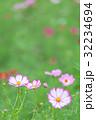 花 秋桜 植物の写真 32234694