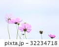花 秋桜 植物の写真 32234718