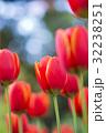 チューリップ 春の花 横浜公園の写真 32238251