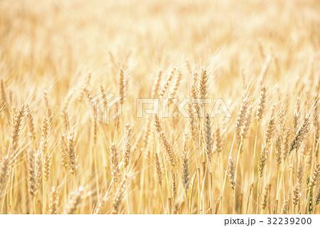 金色に輝く麦の穂のある美しい風景 32239200