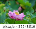 ハスの花 32243619
