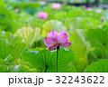 ハスの花 32243622