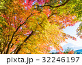 紅葉 秋 楓の写真 32246197