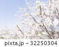 梅の花(白梅) 32250304