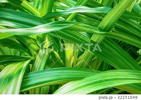 熱帯植物 32251049