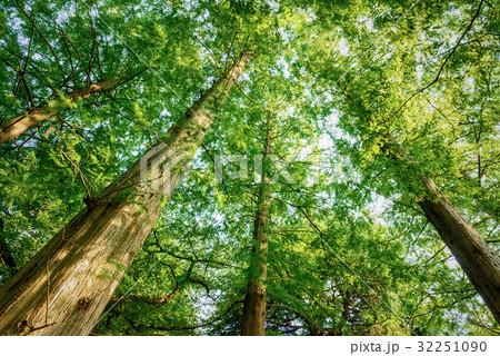 メタセコイアの森 32251090