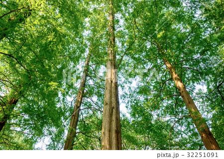 メタセコイアの森 32251091