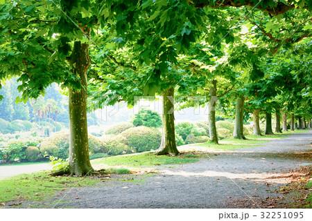 プラタナスの木々 32251095