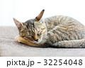 丸まって寝る仔猫 32254048
