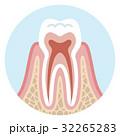 歯の断面図 正常 32265283