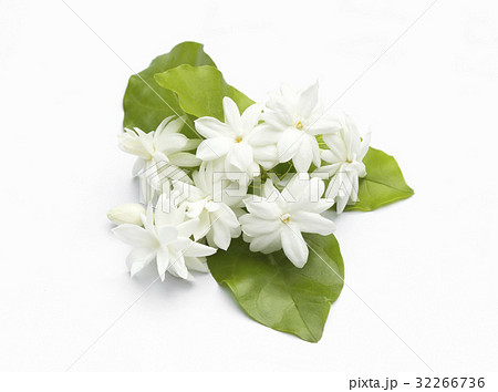 White jasmine flowers fresh flowers 32266736