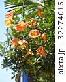 ノウゼンカズラ 花 橙色の写真 32274016