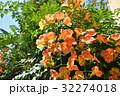 ノウゼンカズラ 花 橙色の写真 32274018