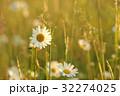 ヒナギク マーガレット 花の写真 32274025