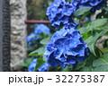 山アジサイ サワアジサイ 紫陽花 32275387