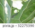あげは蝶 キアゲハ 揚羽 32275390