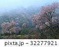 霧かかる山桜2(香川県さぬき市峰堂峠) 32277921