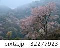 霧かかる山桜4(香川県さぬき市峰堂峠) 32277923