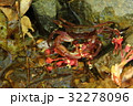 楓の花とサワガニ 32278096