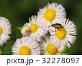 黄金虫とハルジオン 32278097