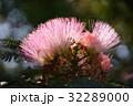 花 ねむの木 ネムノキの写真 32289000