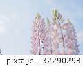 ルピナス 32290293