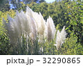 植物 パンパスグラス 穂の写真 32290865