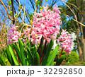 都立浮間公園のヒヤシンスの花 32292850