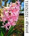 都立浮間公園のヒヤシンスの花 32292851