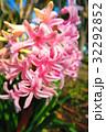 都立浮間公園のヒヤシンスの花 32292852