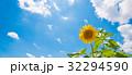 ひまわり 32294590
