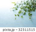 アイビー 観葉植物 葉の写真 32311515