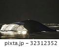 シロナガスクジラ 32312352