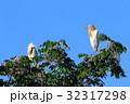 アマサギ(Cattle Egret) 32317298