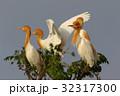 アマサギ(Cattle Egret) 32317300