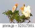 アマサギ(Cattle Egret) 32317301