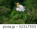 アマサギ(Cattle Egret) 32317303