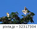 アマサギ(Cattle Egret) 32317304