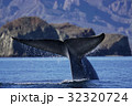 シロナガスクジラ 32320724