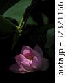 蓮の花 32321166