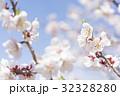 梅の花(白梅) 32328280