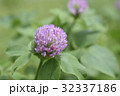 紫詰草 赤詰草 花の写真 32337186