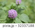 紫詰草 赤詰草 花の写真 32337188