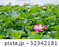 開花した古代ハスと背後の水面 伊佐沼水辺再生事業 b 32342181