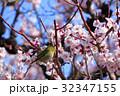 メジロ 梅 梅の花の写真 32347155