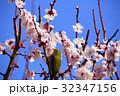 メジロ 梅 梅の花の写真 32347156