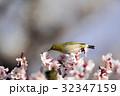 メジロ 梅 梅の花の写真 32347159