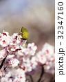 メジロ 梅 梅の花の写真 32347160